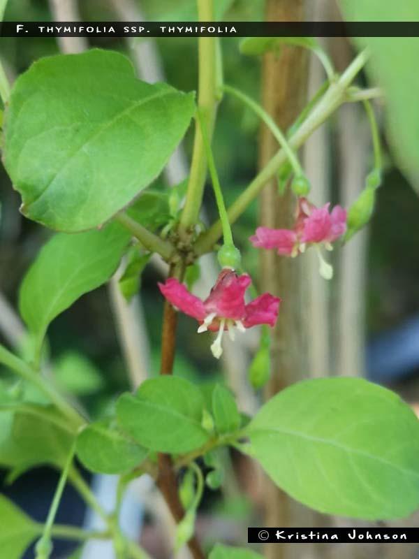 F. thymifolia ssp. thymifolia