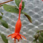 F. triphylla