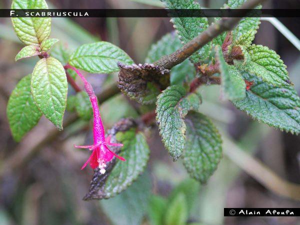 F. scabriuscula