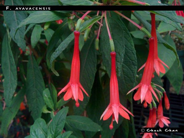 F. ayavacensis