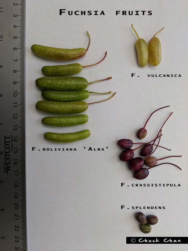 Fuchsia Fruits