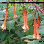 F. magdalenae