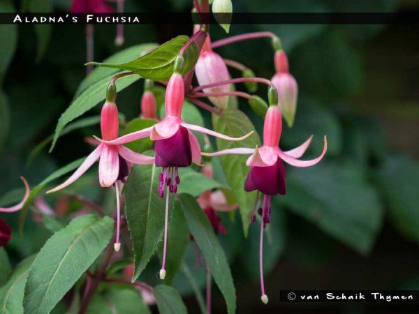 Aladna's Fuchsia