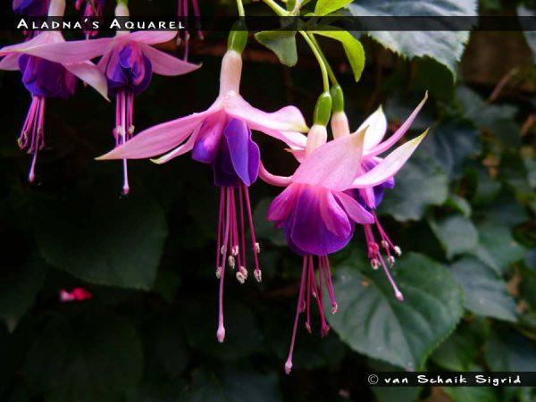 Aladna's Aquarel