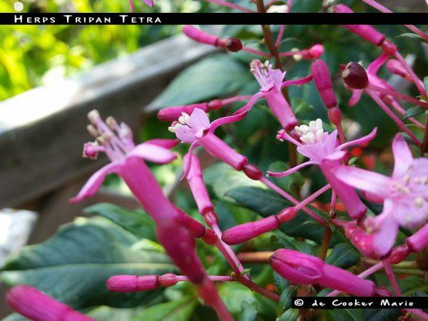 Herps Tripan Tetra