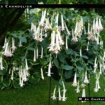 Icicles Chandelier