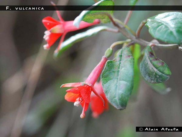 F. vulcanica