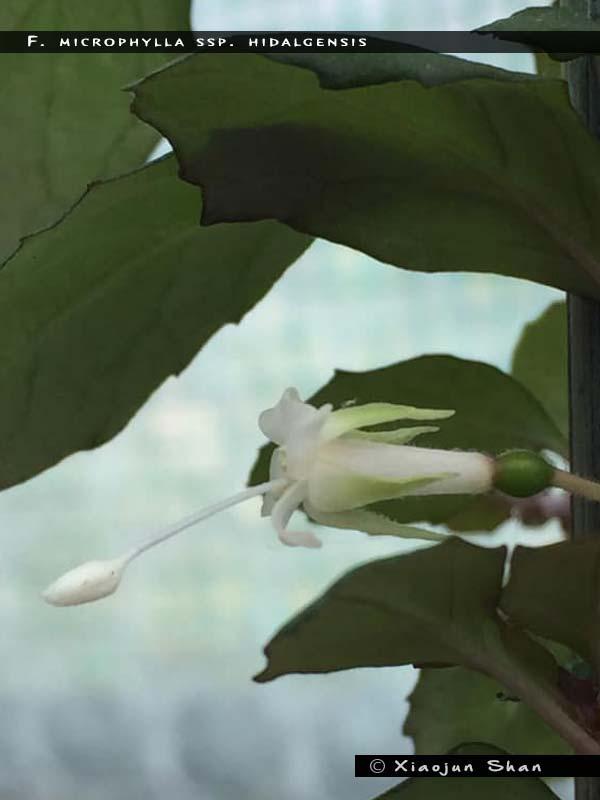 F. microphylla ssp.hidalgensis