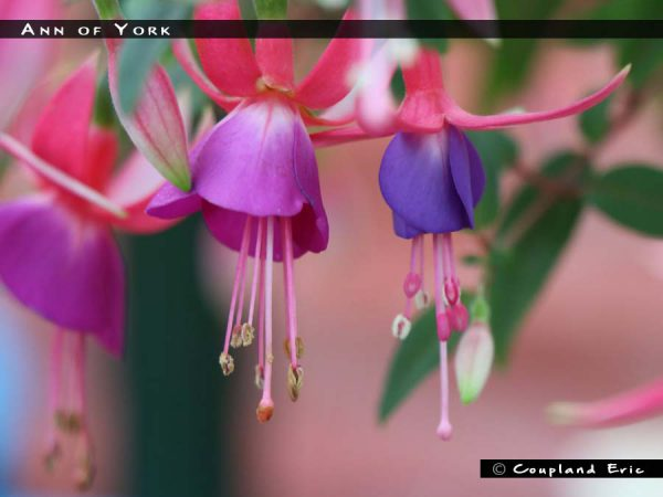 Ann Of York