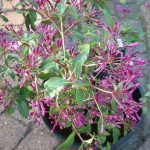 Herps Purple Rain