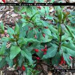 F. magellanica 'Electra Regia Red'