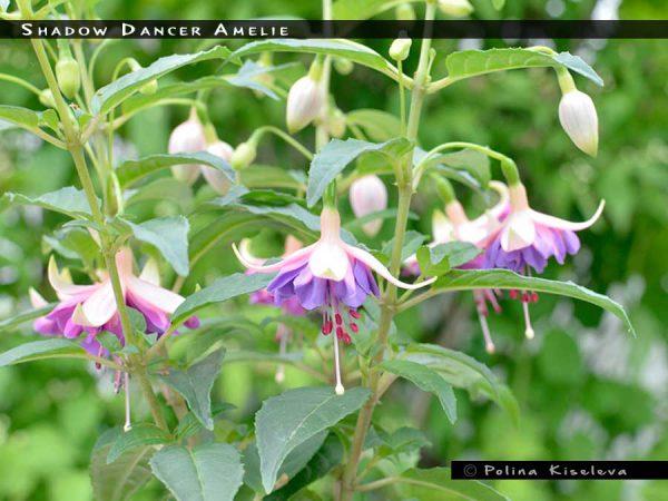 Shadow Dancer Amelie