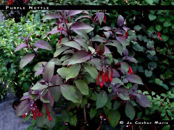 Purple Nettle